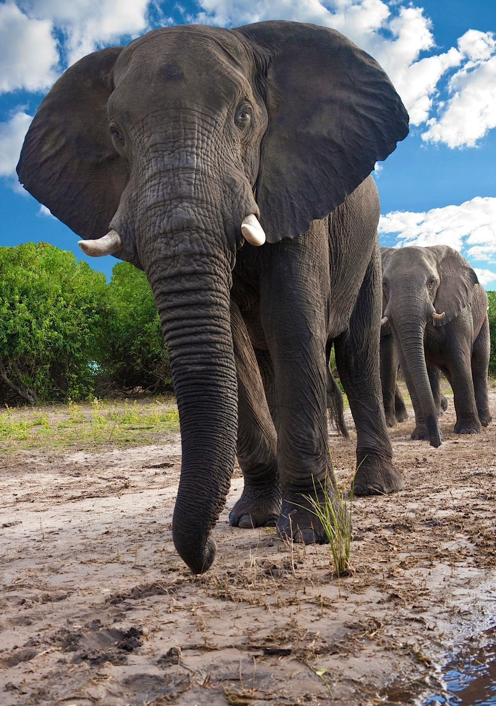 Low view of a group of African Elephants (Loxodonta africana) near the Chobe River in Chobe National Park in Botswana